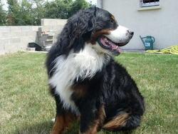 Boss, chien Bouvier bernois