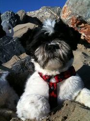 Marius, chien Lhassa Apso