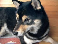 Vague, chien Shiba Inu