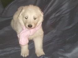 Gaia, chien Berger blanc suisse