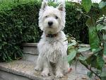 Poupounne, chien West Highland White Terrier