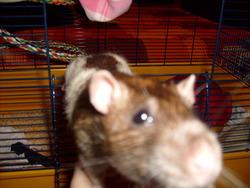 Droug, rongeur Rat
