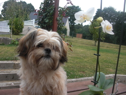 Flora, chien Lhassa Apso