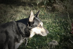 Enzo, chien Berger allemand