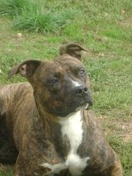 Daisy, chien American Staffordshire Terrier
