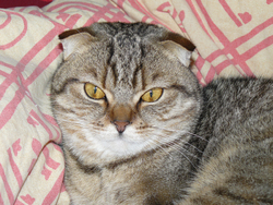 Suzy, chat Scottish Fold