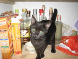 Lila, chat Gouttière