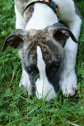 Dahlia, chien Whippet