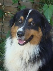 Cheyenne, chien Berger australien
