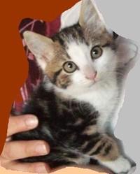 Mistou, chat Européen