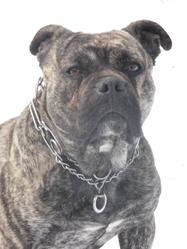 Cave Canem, chien Dogue de Majorque
