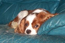 Vahiné, chien Cavalier King Charles Spaniel