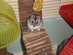 Perle , rongeur Hamster