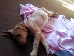 Etoile, chien Labrador Retriever