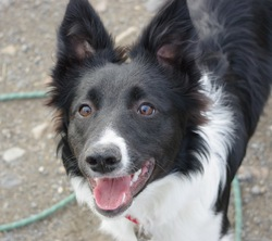Frida, chien Border Collie
