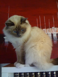 Canaille, chat Birman