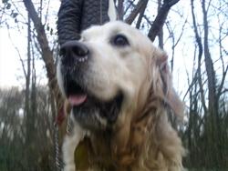 Titeuf, chien Golden Retriever