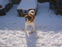Pumba, chien Saint-Bernard