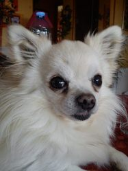 Tom Pouce, chien Chihuahua