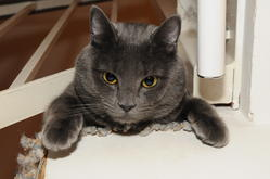 Fay, chat Chartreux