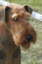 Maverick, chien Airedale Terrier