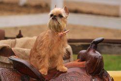 Abygaëlle, chien Griffon bruxellois