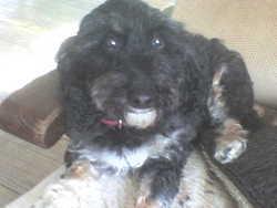 Bouboule, chien Teckel