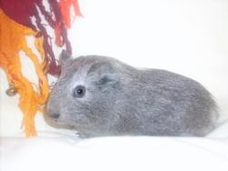 Astarté, rongeur Cochon d'Inde