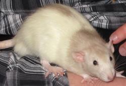 Kawa, rongeur Rat
