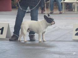 Bouba, chien Bouledogue français