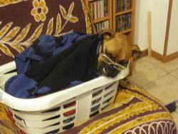 Kik, chien Boxer