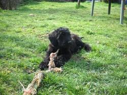 Eloise, chien Berger de Brie