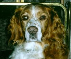 Léon, chien Épagneul breton