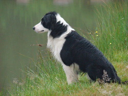 Harry, chien Border Collie