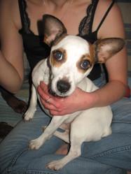 Eliott, chien Jack Russell Terrier