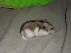 Balou, rongeur Hamster