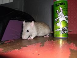 Classico Dio, rongeur Rat