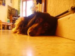 Laly, chien Teckel