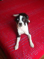 Zya, chien