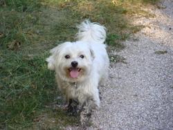 Guizmo, chien Bichon maltais