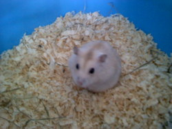 Avalanche, rongeur Hamster