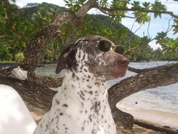 Carambar, chien Dalmatien
