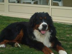 Eden, chien Bouvier bernois