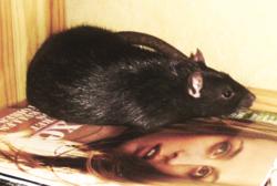 Kenny, rongeur Rat