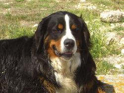 Tequila, chien Bouvier bernois