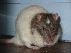 Atchoum, rongeur Rat