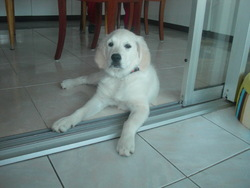 Epice, chien Golden Retriever