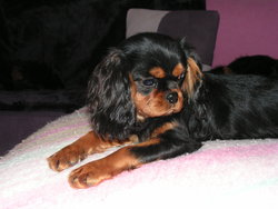 Fashion Lolita, chien Cavalier King Charles Spaniel