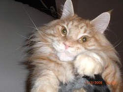 Cartoon, chat Maine Coon