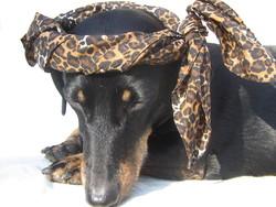 Paco, chien Teckel